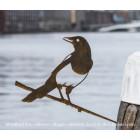 Metalbird Ekster metalen vogel silhouet
