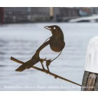 Elster von Metalbird - Metall-Vogel Silhouette
