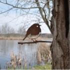 Metall-Vogel Rotkehlchen  - Metall-Vogel Silhouette